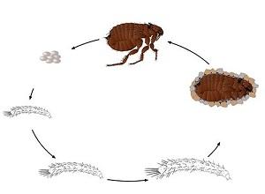 Циклы развития паразита