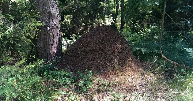 Чаще всего муравьи просто защищают муравейник