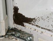 Как бороться с муравьями в доме?