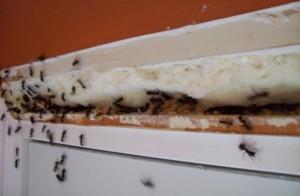 Муравьи опасны тем, что могут разносить инфекции и вирусы