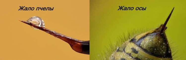 Оса и пчела различия