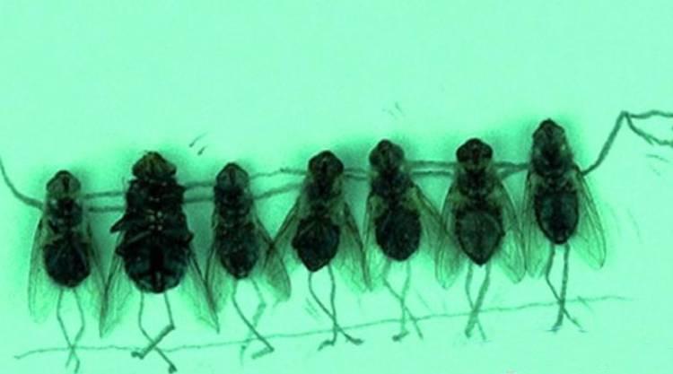 Как убить личинок мух