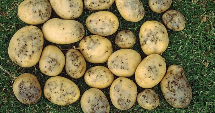 испорченная молью картошка