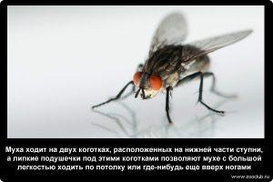 как ходит муха по потолку