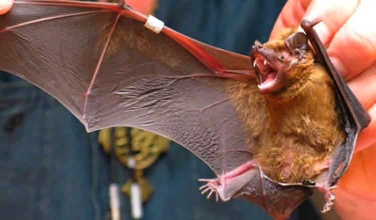 летучая мышь - страшный зверь