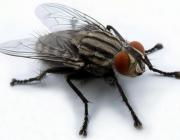 Как выглядит мир глазами обыкновенной мухи?