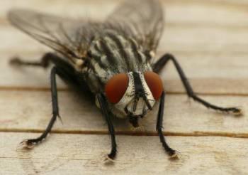 обычная комнатная муха