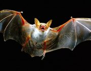 Как живут и где живут летучие мыши зимой?
