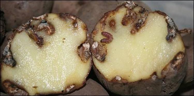 пораженные молью клубни картофеля