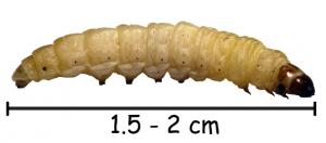 размер гусеницы моли