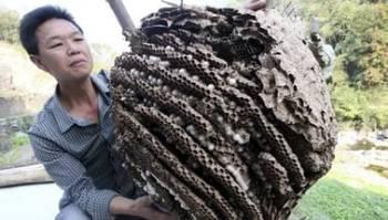 Женщина переносит дом шершней