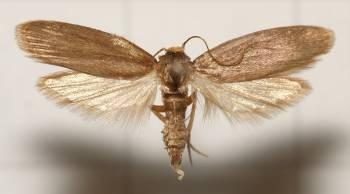 моль с раскрытыми крыльями