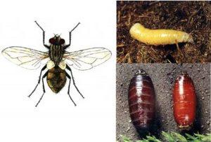 муха комнатная и личинки