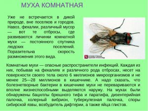 муха комнатная описание
