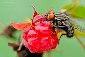 муха на малине
