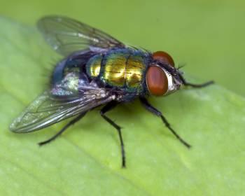 муха с зеленовато-желтым окрасом