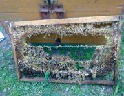 Как пчеловоду избавиться от восковой моли?