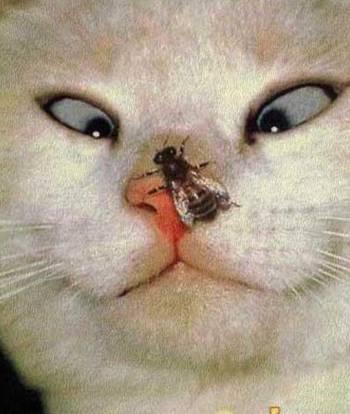 пчела на носу у кота