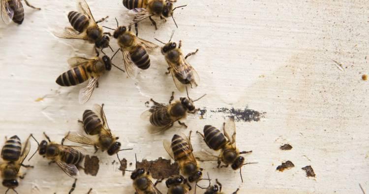пчёлы на столе