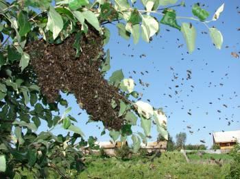 рой пчёл на дереве