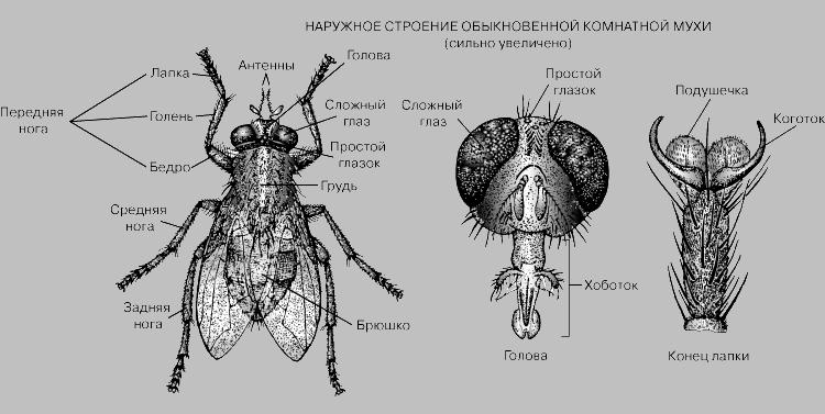 строение комнатной мухи