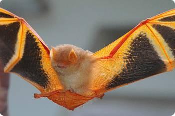 Гладконосые летучие мыши