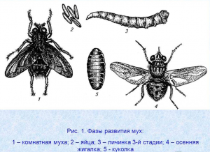фазы развития мух