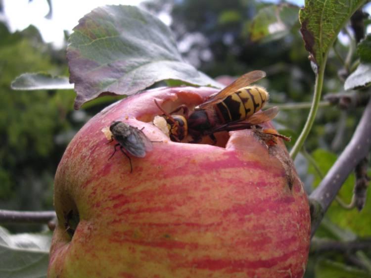 шершень ест яблоко
