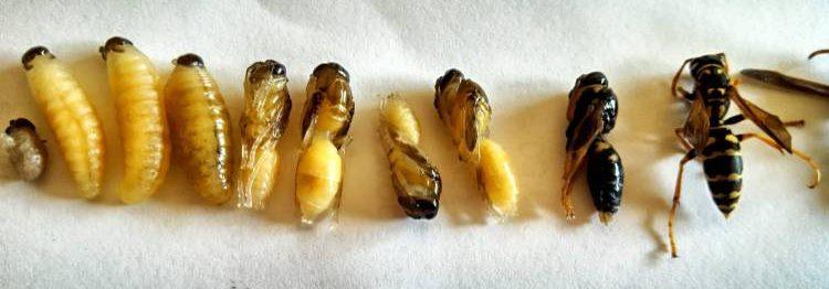 от яйца до взрослой осы