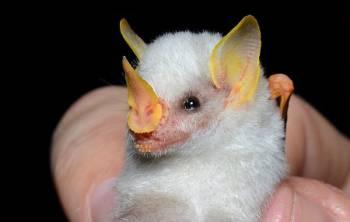 Белая летучая мышка