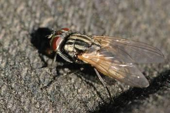 Комнатная-муха