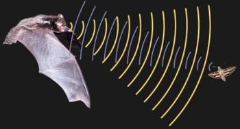 Как ориентируется летучая мышь