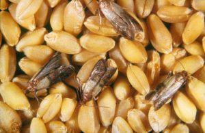 зерновая моль