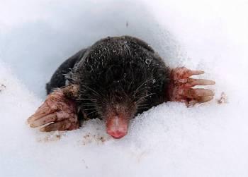 крот вылез из-под снега