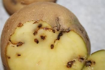 моль ест картофель