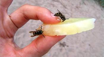 осы на кусочке ананаса в руке