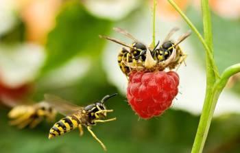 осы на малине