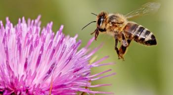 пчела садится на цветок
