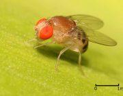 На кухне появилась муха дрозофила – что делать?