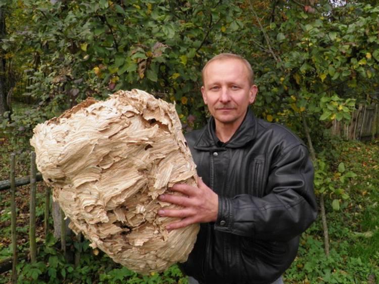 большое гнездо шершней