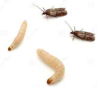 взрослая моль и личинки