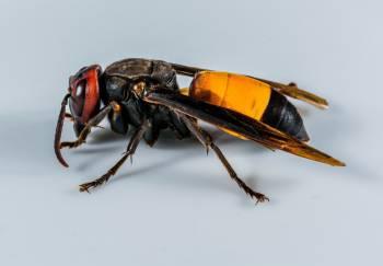 вид осы