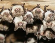 Летучая мышь— милое млекопитающее или ужас, летящий на крыльях ночи?