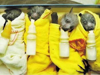 летучие мышки с сосками