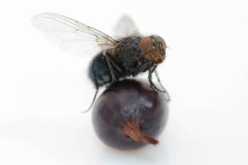 муха на виноградинке