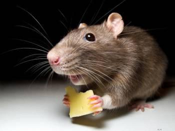 обычная мышь с сыром