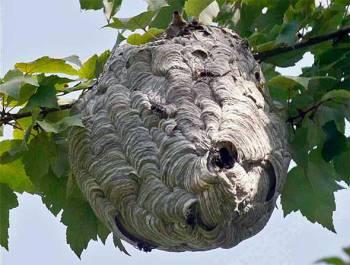 осиное гнездо на дереве
